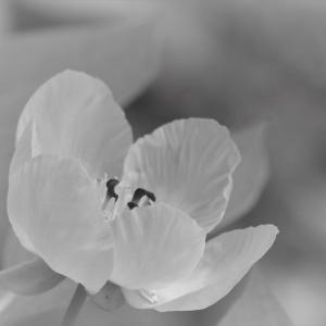 初夏ひらく白、山芍薬