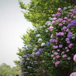 紫陽花の道、丹沢里山