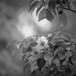 水無月、白露の花