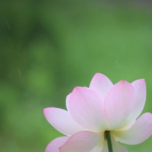 雨露に咲く、蓮