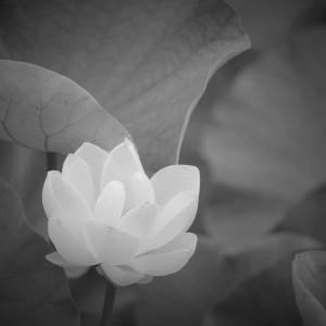 白露花、蓮