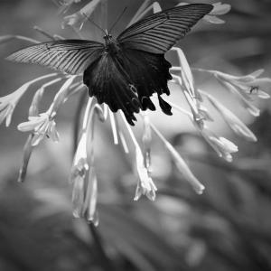 黒蝶の夏、七月の花