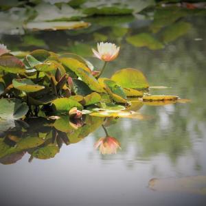 水際の花、朱夏睡蓮