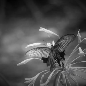 胡蝶の花、七月の森