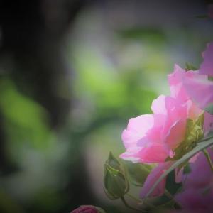 芙蓉の朝陽
