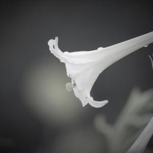 驟雨に咲く、百合の白秋