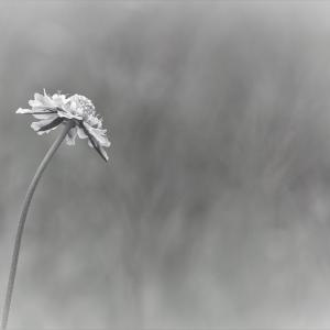 朝靄に咲く、松虫草