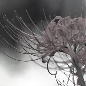 夕色の花、曼珠沙華