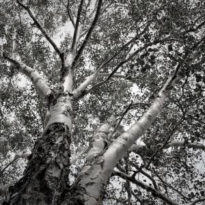 大樹、白樺星霜