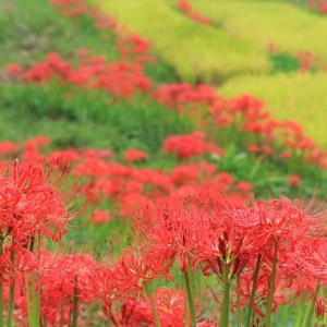 九月の花里、曼珠沙華