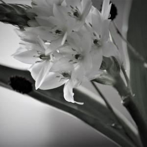 星の花、オーニソガラム