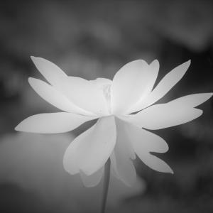 朝露の白、蓮