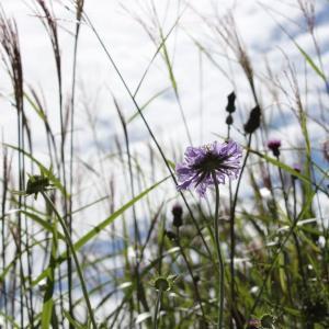 松虫草、Scabiosa japonica