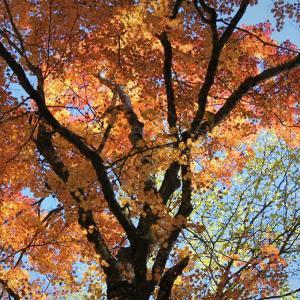 秋陽、紅葉襲