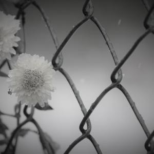 雪、廃園の菊