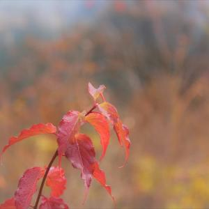 紅葉一草、奥多摩×東京紅葉