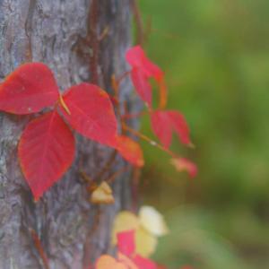 森の絵葉書、蔦紅葉ワンシーン