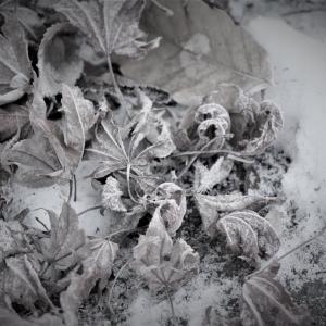 氷紅葉、冬富士の足もと