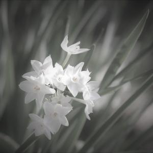 冬凛の花、白水仙