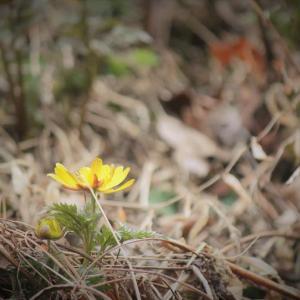 春一滴、福寿草の春