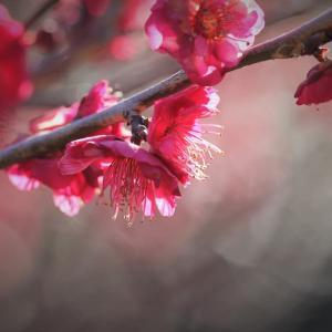 紅くれなゐ、梅の春