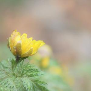 雫、福寿草の春