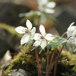 星花、節分草の春