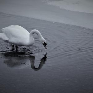 白鳥鏡、冬の水景