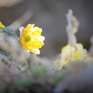 朝陽の一滴、福寿草の春