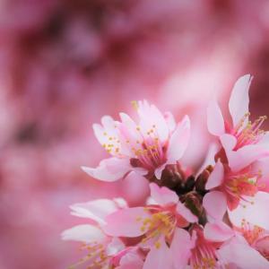 紅暈、阿亀桜の春