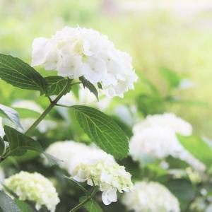 緑雨に光る、紫陽花の白
