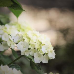 薬玉の夏、紫陽花