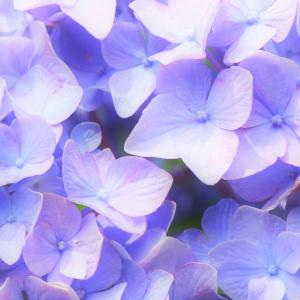 照る青日、紫陽花