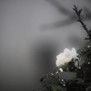 朝霧の花、野茨の夏