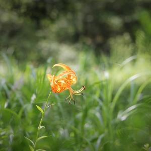 朱夏の風花、小鬼百合