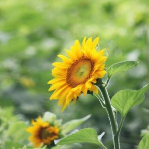 盛夏の花里、向日葵