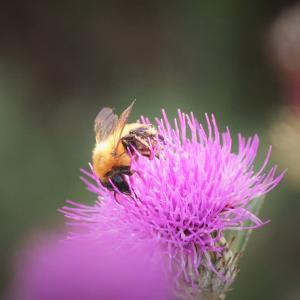 花蜂の秋、薊
