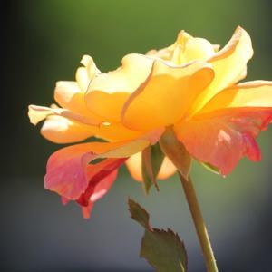 秋光、薔薇の9月