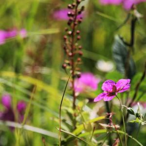 風に花、風露草の九月