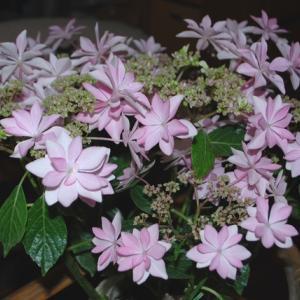 紫陽花の季節ですね!
