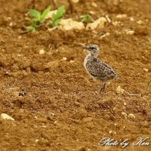 南の島3日目「ツバメチドリ」さん~Σ^) 1日目も会えましたが・・1番小さい子も♪