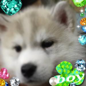 ミサンガ・ハスキー子犬