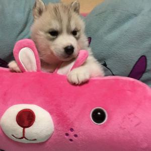 かなり良い出来のハスキー子犬生まれています♪