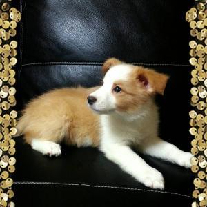 ボーダーコリー子犬☆