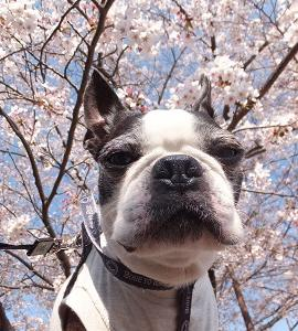謎の桜アングル。