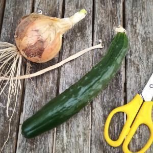 今年も家庭菜園で収穫が始まりました。
