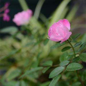薔薇とロマンチック