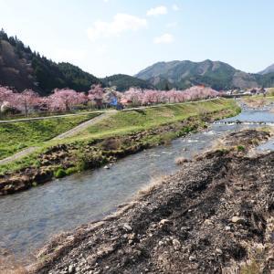 新庄村の凱旋桜