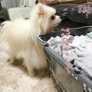 洗濯カゴLOVEのポメラニアン