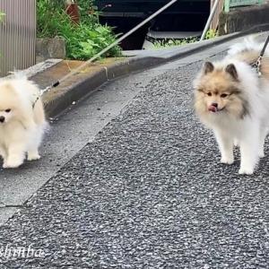 シニア犬の真夏の早朝散歩